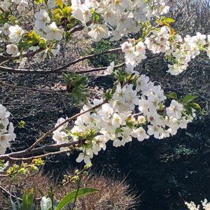 大島桜の枝